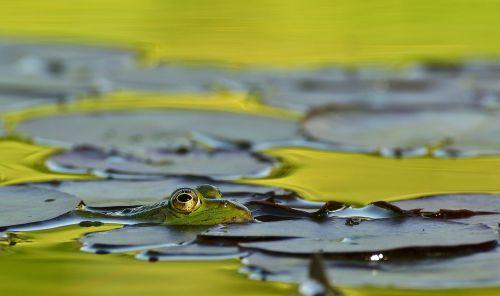frog lake pond
