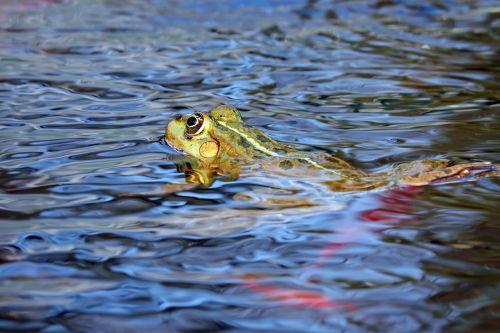 frog water frog animal