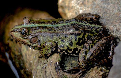 frog nature sitting frog