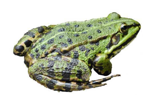 frog water frog amphibians pond