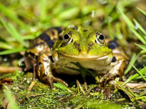 frog water frog amphibians