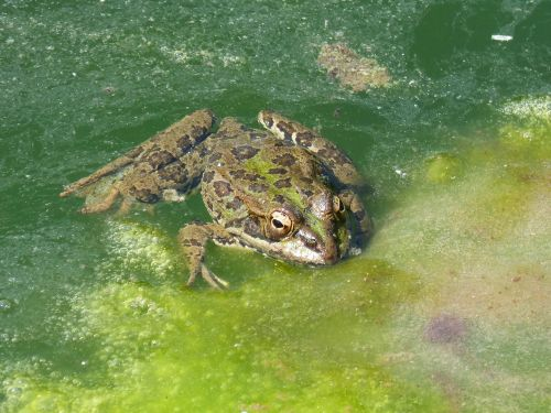 frog pond algae