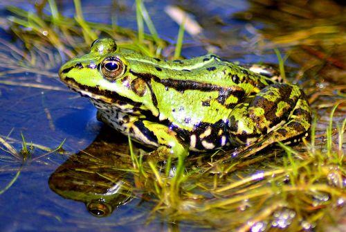 frog lake high