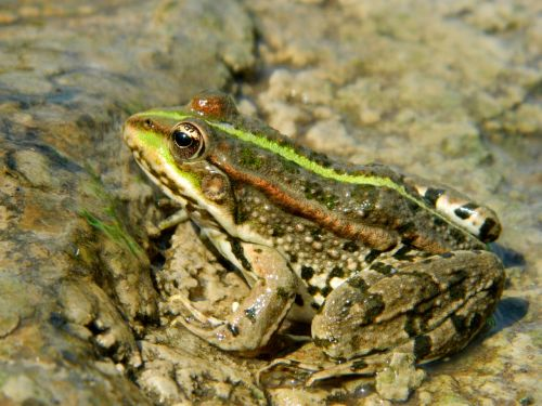 frog swamp toad