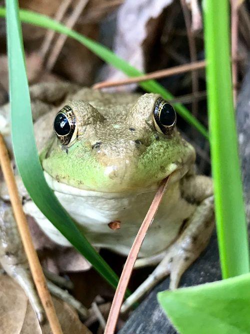 frog minnesota eyes