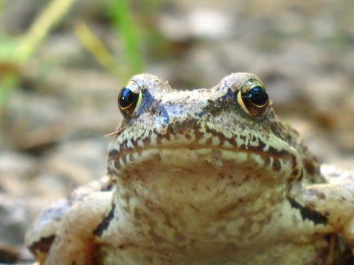 frog amphibians closeup