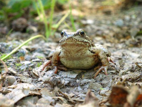 frog amphibians animals