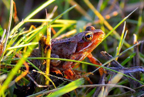 frog tree frog amphibians