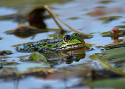 frog pond animal