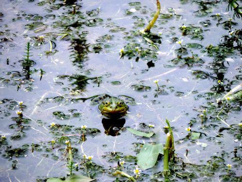 frog pond nature