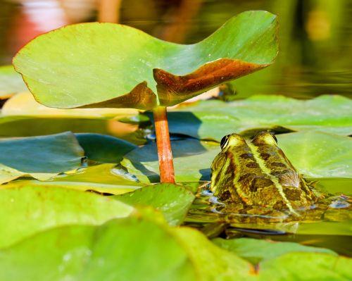 frog water frog frog pond