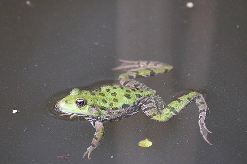 frog  swim  nature