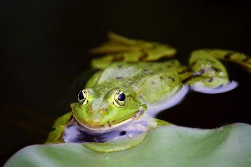 frog  green  green frog