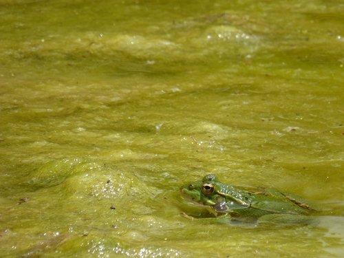 frog  algae  stalking