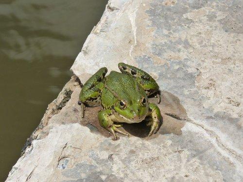 frog  batrachian  raft