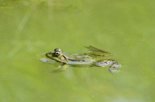 frog  water  pond