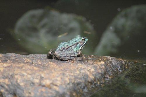 frog  pond  stone