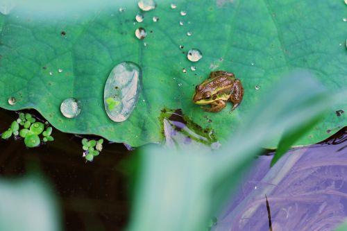 frog kite water