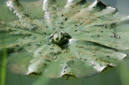 frog  water lily  pond