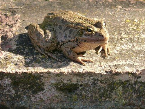 frog  batrachian  shore