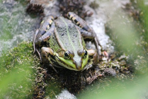 frog  water  bodies