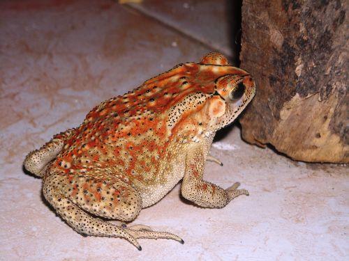 frog duttaphrynus melanostictus buduk