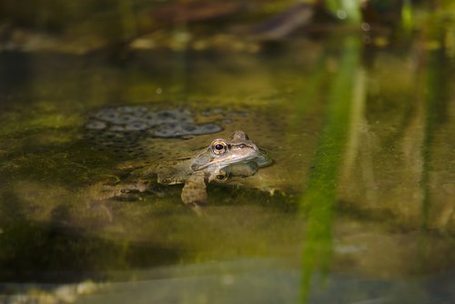 frog  amphibian  pond