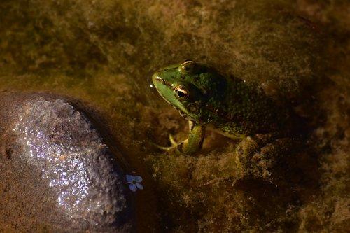 frog  oasis  morocco