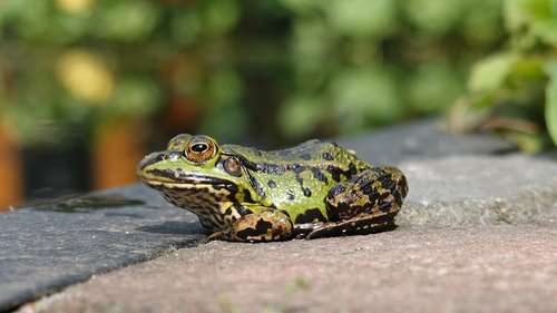 frog  amphibian  green