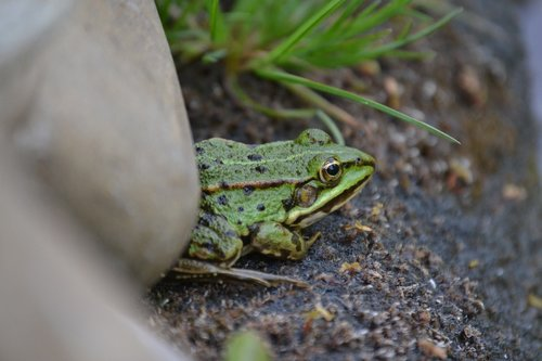 frog  pond edge  stone
