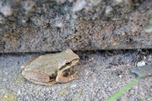 frog amphibian hop