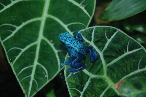 varlė,nuodai,Dart,mėlynas,amfibija,toksiškas,makro,egzotiškas,atogrąžų miškai,atogrąžų,atogrąžų miškai,lapai