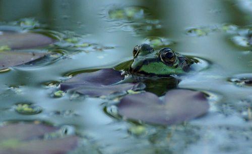 frog pond green