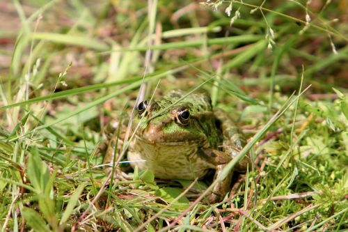 frog tree frog toad
