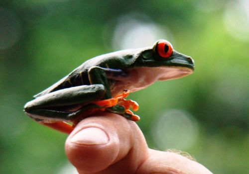 frog red-eyed tree frog