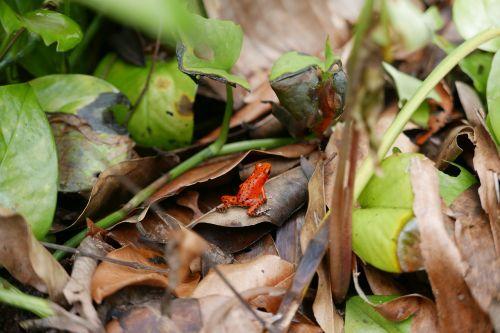 frog red frog poison dart frog