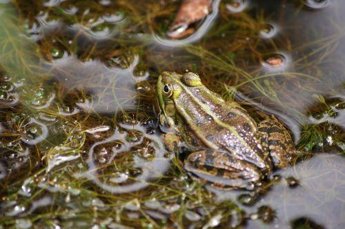 frog water amphibian