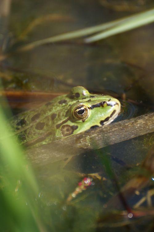 frog pond toad
