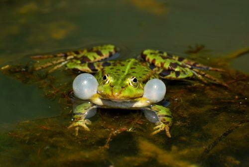 frog aquatic animal close