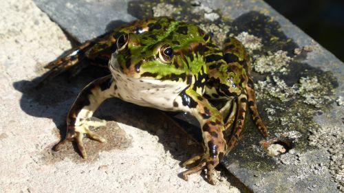 frog animal beast