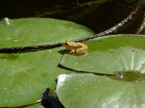 frog pond water