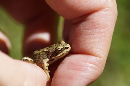 frog toad small
