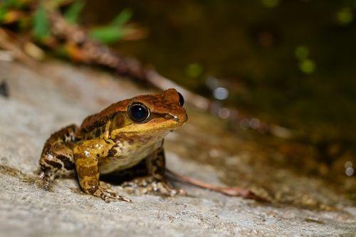 frog amphibians