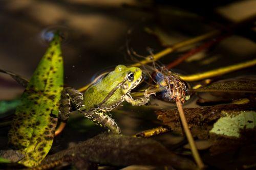 frog emerald colors nature