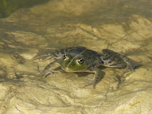 frog eyes pond toad