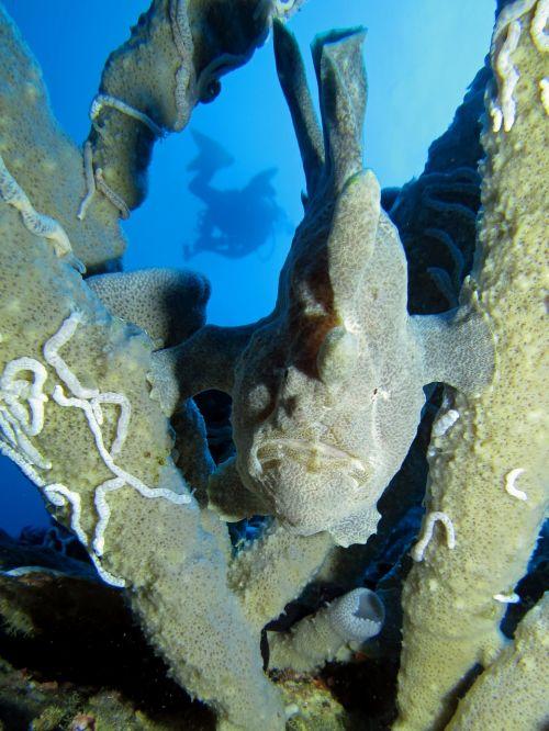 frog fish underwater fauna