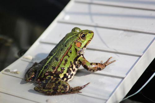frog pond frog water frog