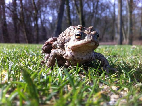 frogs golf nature