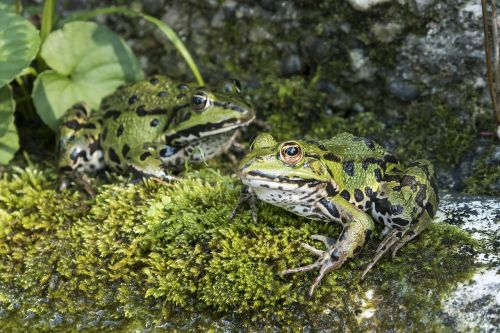 frogs water frog green frog