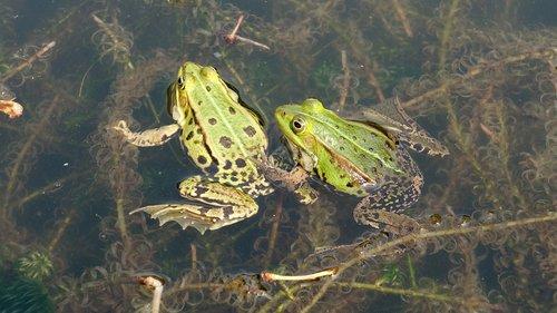 frogs  propagation  mate